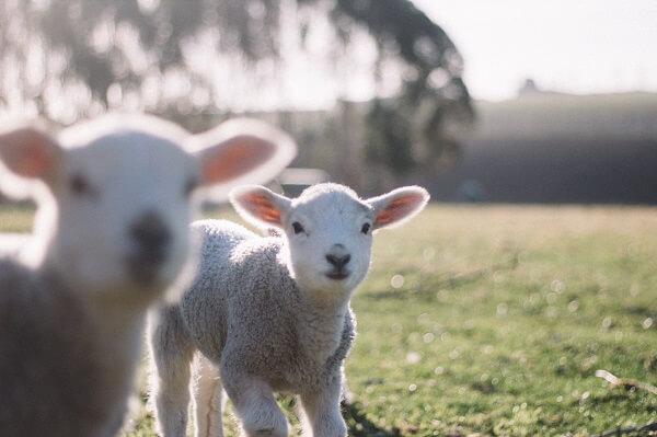 agneaux dans un pré