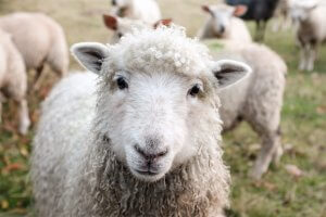 Animal welfare is important for this white sheep that looks into the lens.