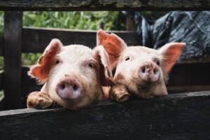 twee gelukkige varkens tijdens #eetgeendierendag en #eetgeendiermetBertyn
